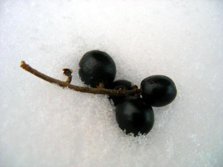 black_fruit_in_the_snowpreview