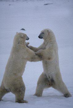 Polar Bear Dancing on Snow