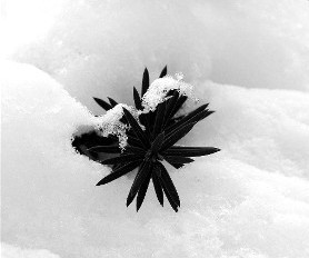 website_snow_leaf2