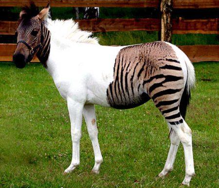 άλογο η φαντασία, ζέβρα φυλακής το ανεκπλήρωτο